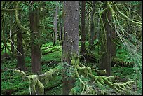 Westside rainforest. Mount Rainier National Park, Washington, USA. (color)