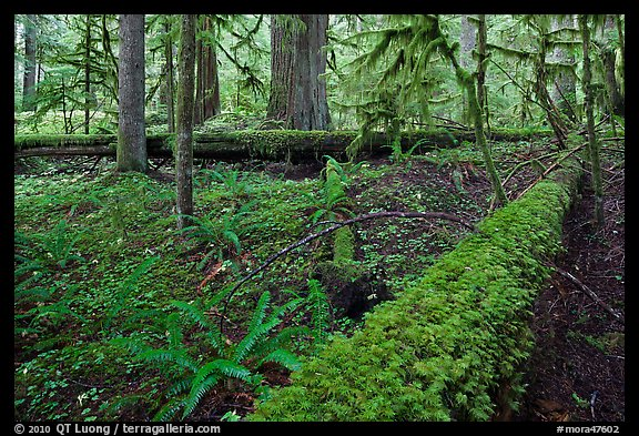 Ferns and fallen log. Mount Rainier National Park (color)