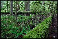 Ferns and fallen log. Mount Rainier National Park, Washington, USA.