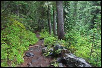 Trail and forest , Van Trump creek. Mount Rainier National Park ( color)
