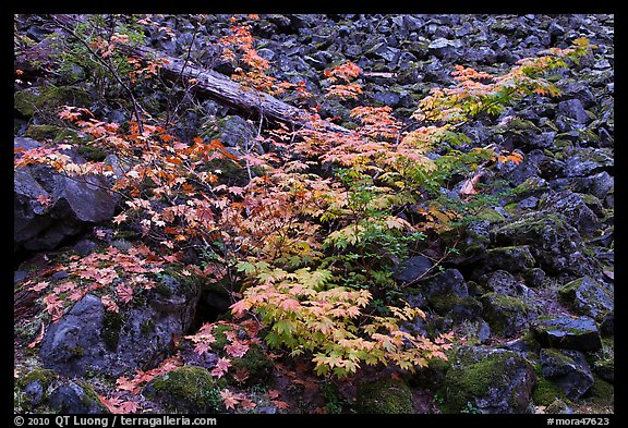 Shrubs in autumn color growing on talus slope. Mount Rainier National Park, Washington, USA.