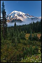 Conifer forest, meadows, and Mt Rainier viewed from below Paradise. Mount Rainier National Park, Washington, USA.