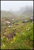 Deer in foggy alpine meadows, Paradise. Mount Rainier National Park ( color)