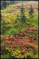 Alpine meadaw with berry plants in autumn color. Mount Rainier National Park, Washington, USA.