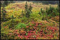 Paradise meadow in the fall. Mount Rainier National Park, Washington, USA.