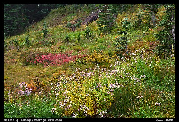 Wildflowers bloom while berry plants turn to autumn color in background. Mount Rainier National Park (color)