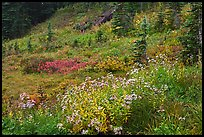 Wildflowers bloom while berry plants turn to autumn color in background. Mount Rainier National Park, Washington, USA.