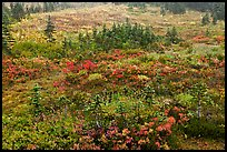 Berry plants and conifers in fall, Paradise Meadows. Mount Rainier National Park, Washington, USA.