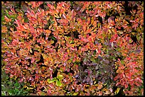 Close-up of berry leaves in autumn color. Mount Rainier National Park, Washington, USA.