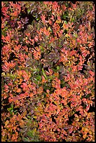 Close-up of berry leaves in fall color. Mount Rainier National Park ( color)