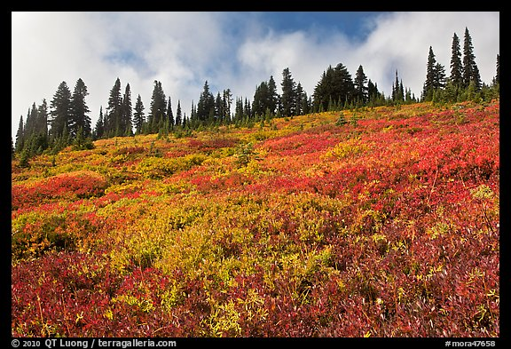 Brighly colored meadow and tree line in autumn. Mount Rainier National Park (color)
