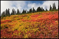 Brighly colored meadow and tree line in autumn. Mount Rainier National Park, Washington, USA.