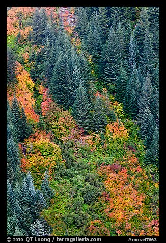 Slope with conifers and shrubs in fall color. Mount Rainier National Park, Washington, USA.