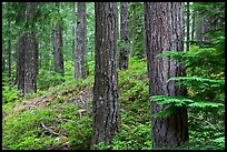 Conifer forest near Ohanapecosh. Mount Rainier National Park ( color)