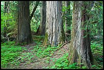 Patriarch Grove. Mount Rainier National Park, Washington, USA. (color)