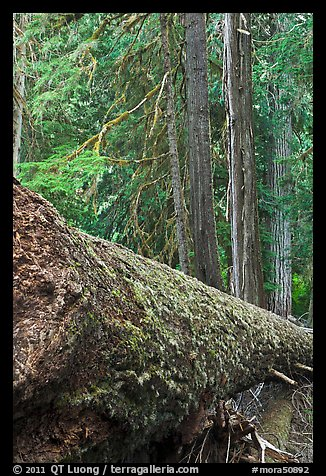 Moss-covered fallen tree in Patriarch Grove. Mount Rainier National Park (color)