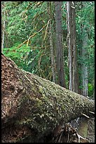Moss-covered fallen tree in Patriarch Grove. Mount Rainier National Park, Washington, USA. (color)