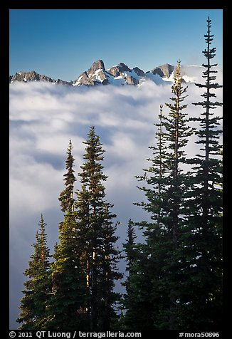 Spruce trees and cloud-filled valley. Mount Rainier National Park, Washington, USA.