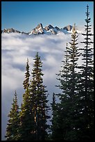 Spruce trees and cloud-filled valley. Mount Rainier National Park, Washington, USA. (color)