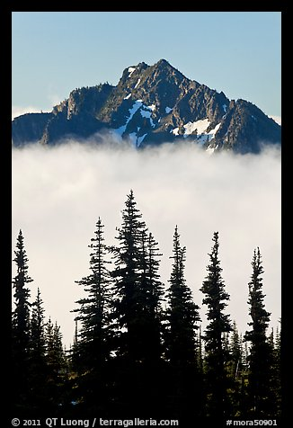 Spruce trees and mountain emerging above clouds. Mount Rainier National Park (color)