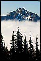 Spruce trees and mountain emerging above clouds. Mount Rainier National Park, Washington, USA. (color)