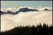 Dark conifers and ridge emerging from clouds. Mount Rainier National Park, Washington, USA. (color)