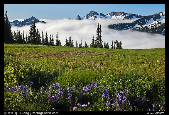 Lupine, meadow, and mountains emerging from clouds. Mount Rainier National Park (color)