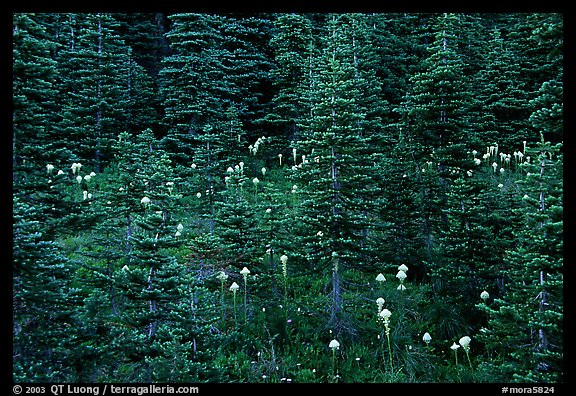 Beargrass and dark conifer trees. Mount Rainier National Park, Washington, USA.