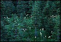 Beargrass and dark conifer trees. Mount Rainier National Park ( color)