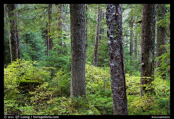 Old-growth forest in autumn. Mount Rainier National Park (color)