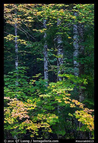 Vine maple and tree trunks. Mount Rainier National Park (color)