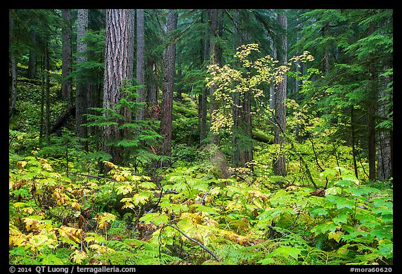 Ohanapecosh forest with bright undergrowth in autumn. Mount Rainier National Park (color)