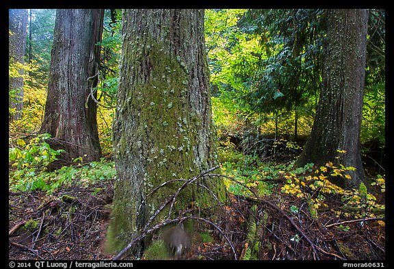 Grove of the Patriarchs in autumn. Mount Rainier National Park (color)