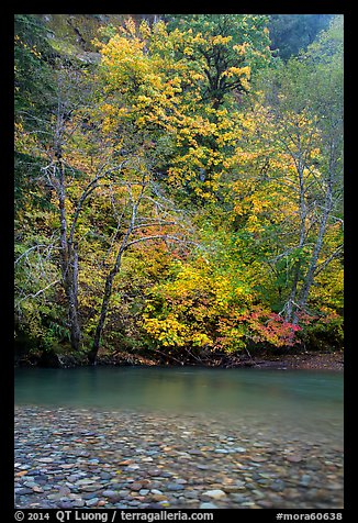 Vine maple in fall foliage along the Ohanapecosh River. Mount Rainier National Park (color)