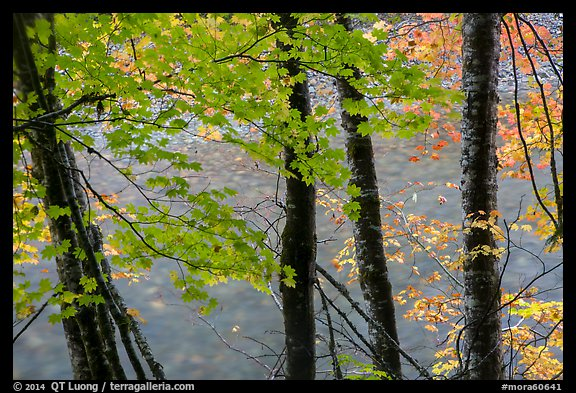 Maple trees leaves and branches lining up Ohanapecosh River. Mount Rainier National Park (color)