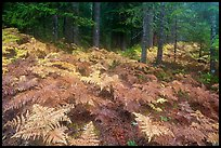 Ferns in autumn and old-growth forest. Mount Rainier National Park, Washington, USA.