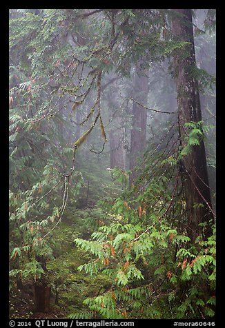 Old growth forest in fog. Mount Rainier National Park (color)