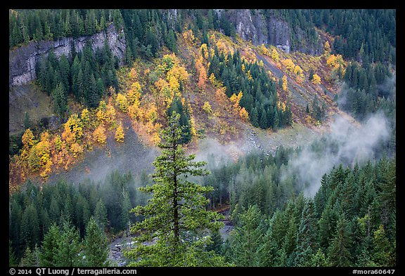 Stevens Canyon with trees in autumn foliage amongst evergreens. Mount Rainier National Park (color)