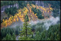 Stevens Canyon with trees in autumn foliage amongst evergreens. Mount Rainier National Park, Washington, USA.