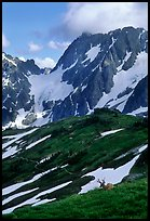 Elk and peaks, early summer, Sahale Arm, North Cascades National Park. Washington, USA.