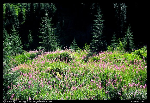 Wildflowers and spruce trees, North Cascades National Park. Washington, USA.