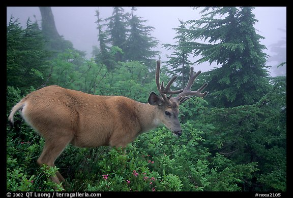 Mule deer in fog,  North Cascades National Park.  (color)