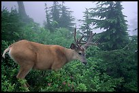 Mule deer in fog,  North Cascades National Park. Washington, USA.