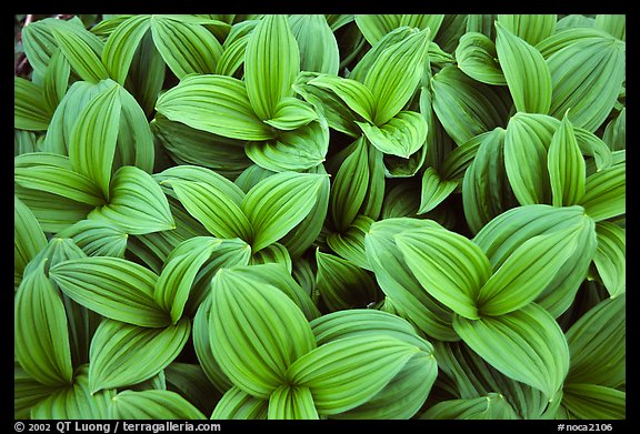 Corn lilly close-up,  North Cascades National Park.  (color)