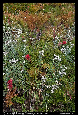 Wildflowers in bloom amidst ferns in autumn color, North Cascades National Park.  (color)