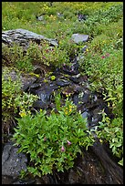 Wildflowers and stream, North Cascades National Park.  ( color)