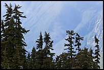 Conifers and hazy forested slope, North Cascades National Park. Washington, USA. (color)
