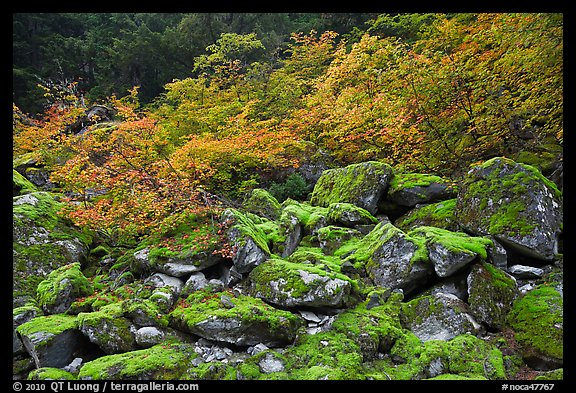 Mossy boulders and vine mapples in fall autumn color, North Cascades National Park.  (color)