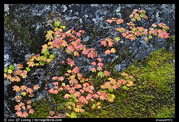 Vine maple leaves in autumn color, North Cascades National Park.  (color)