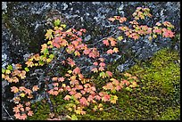 Vine maple leaves in autumn color, North Cascades National Park. Washington, USA.